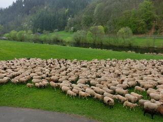 Schafe an der Kinzig