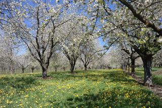 Kirschblüten in Mösbach