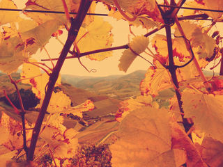 Blick durch die Weinblätter