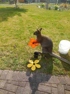 Känguru Dobbyfee