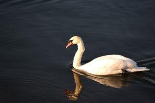 Schwan auf dem Rhein