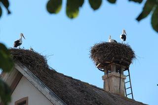 Auf den Dächern in Gamshurst haben sich zahlreiche Storchenpaare niedergelassen.