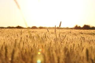 Durchwachsen ist die Einschätzung der Getreideernete des BLHV, auch wenn im Bild unserer Ortenautin Christine Tuffner das Feld noch so golden leuchtet.