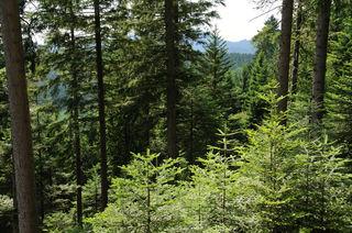 Aktuell ist der Wald vielen Gefahren ausgesetzt, besonders  betroffen ist die Weißtanne.