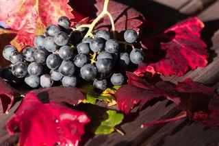 Wird der neue Wein aus roten Trauben gemacht, dann wird er Federroter genannt.