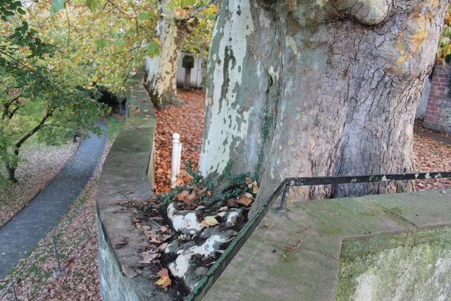 Das Wurzelwerk einer Platane hat längst die Krone der Stadtmauer erobert, sorgt für Risse und damit Einsturzgefahr.