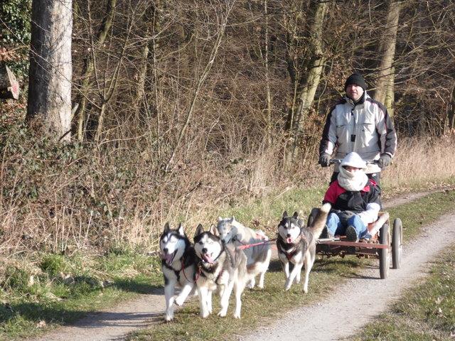 Schlittenhunde zeigen am Wochenende das, was ihnen am meisten Spaß macht.